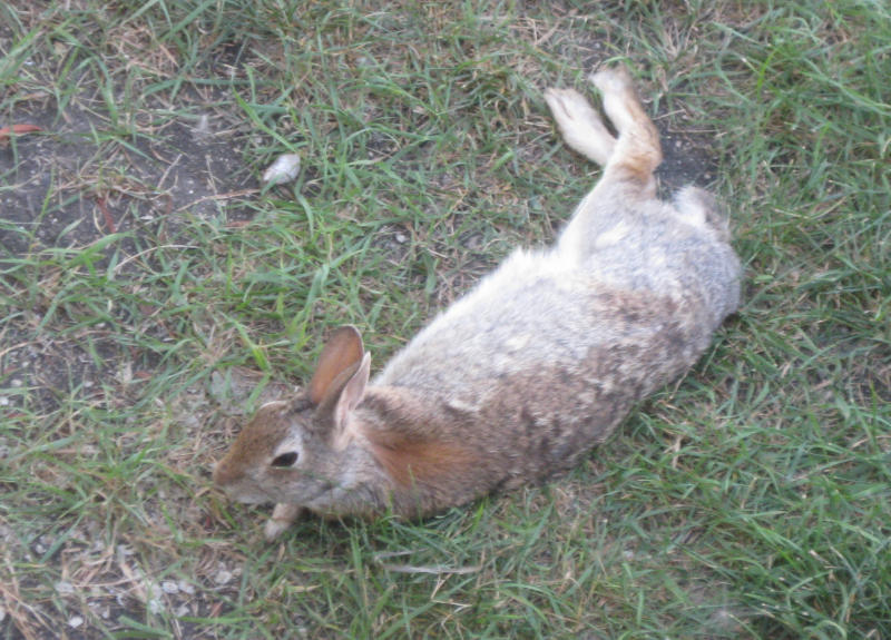 Bunny stretched out and relaxed in back yard